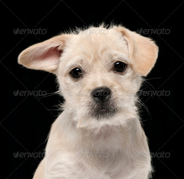 Close-up of Mixed-breed puppy, 4 months old, in front of black background - Stock Photo - Images