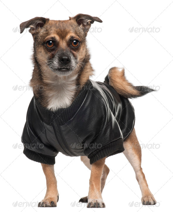 Mixed-breed dog wearing shirt, 6 years old, standing in front of white background - Stock Photo - Images