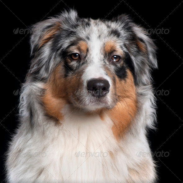 Australian Shepherd dog, 10 months old, in front of black background - Stock Photo - Images