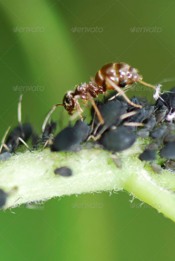 Ant and Lice - Stock Photo - Images