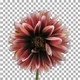 Time-lapse of dying red-white dahlia with ALPHA channel - VideoHive Item for Sale
