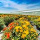 Chrysanthemum flowers are blooming - PhotoDune Item for Sale