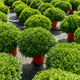 Young chrysanthemum grow in a horticultural plantation - PhotoDune Item for Sale