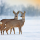 Two young roe deer standing on snow in wintertime with copy space - PhotoDune Item for Sale
