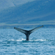 Humpback whale diving in the sea in summer Iceland - PhotoDune Item for Sale