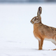 Brown hare standing on snow in winter nature with copy space - PhotoDune Item for Sale