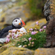 Atlantic puffin sitting on a rocky cliff in summer - PhotoDune Item for Sale