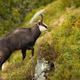 Tatra chamois climbing steep slope in mountains in summer nature - PhotoDune Item for Sale