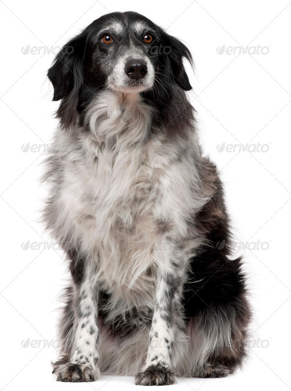 Border Collie, 10 years old, sitting in front of white background - Stock Photo - Images