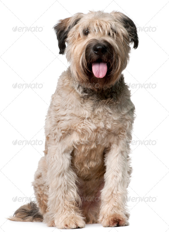 Bouvier des Flandres, 2 years old, sitting in front of white background - Stock Photo - Images
