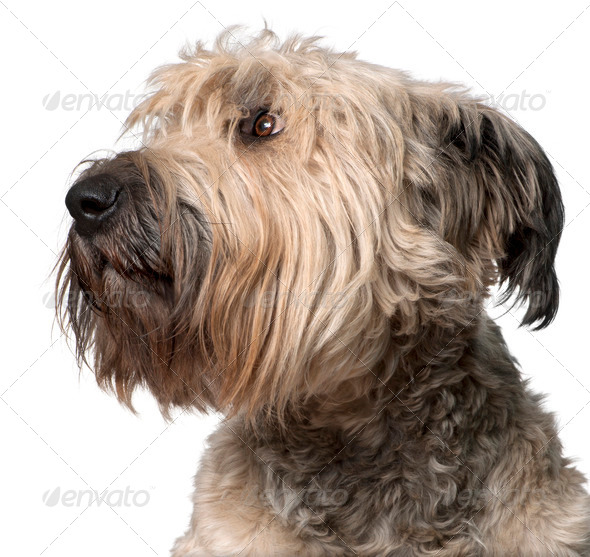 Close-up of Bouvier des Flandres, 2 years old, in front of white background - Stock Photo - Images