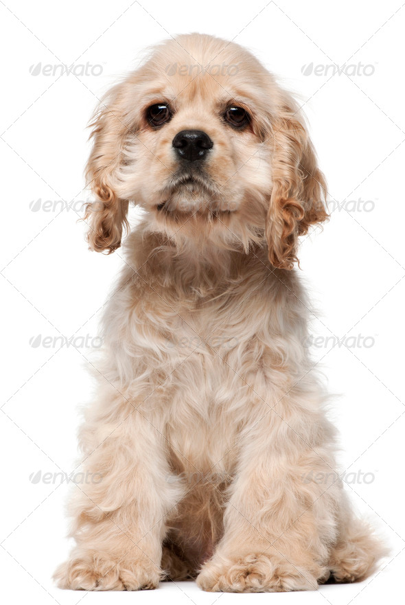 American Cocker Spaniel puppy, 4 months old, sitting in front of white background - Stock Photo - Images