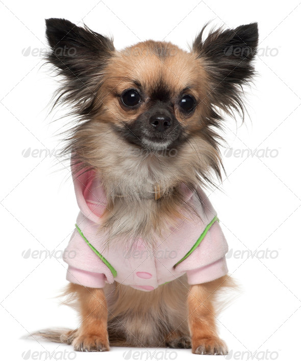 Chihuahua, 16 months old, dressed in shirt sitting in front of white background - Stock Photo - Images