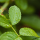 Wet green leaves on blurred background. after raining - PhotoDune Item for Sale
