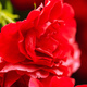 Beautiful green leaves and red petals. Selective focus - PhotoDune Item for Sale