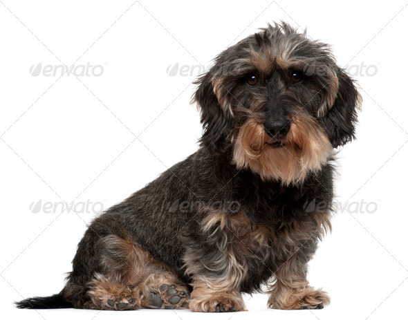 Dachshund, 8 years old, sitting in front of white background - Stock Photo - Images