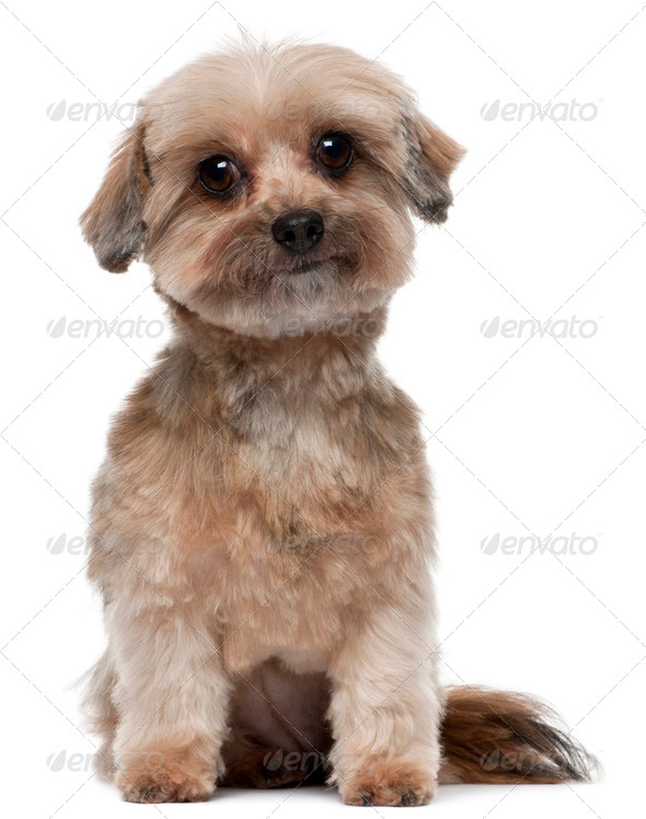 Shih tzu, 5 years old, sitting in front of white background - Stock Photo - Images