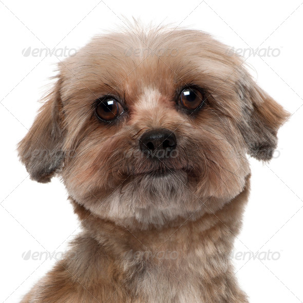 Close-up of Shih tzu, 5 years old, in front of white background - Stock Photo - Images