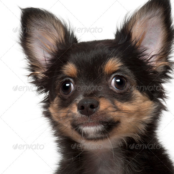 Close-up of Chihuahua, 3 months old, in front of white background - Stock Photo - Images