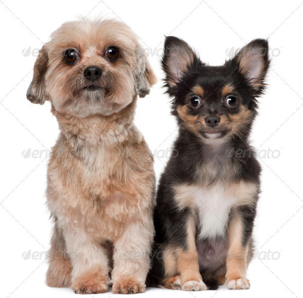 Shih Tzu and Chihuahua, 5 years old and 3 months old, sitting in front of white background - Stock Photo - Images