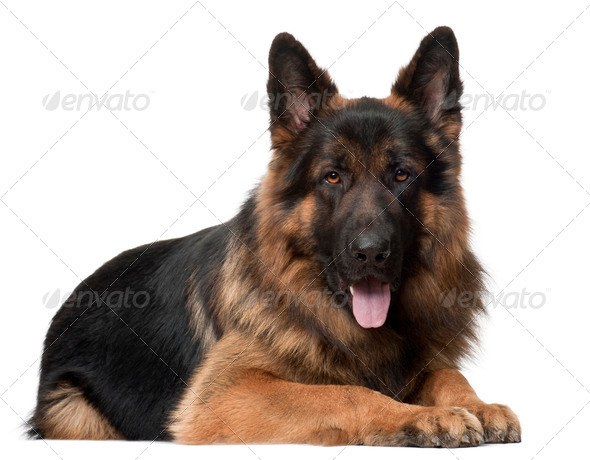 German Shepherd Dog, 2 years old, lying in front of white background - Stock Photo - Images