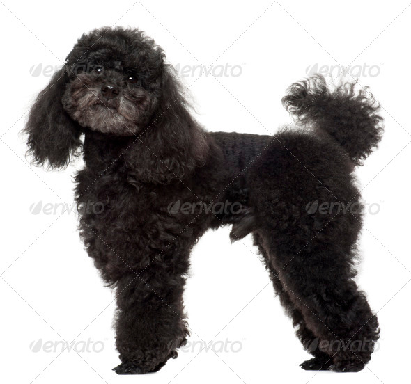 Poodle, 5 years old, standing in front of white background - Stock Photo - Images
