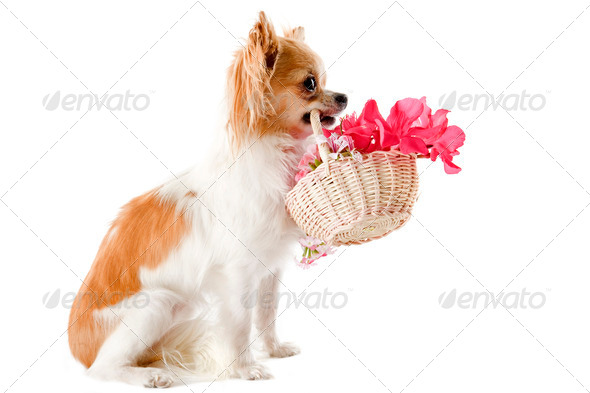 chihuahua and flowers - Stock Photo - Images