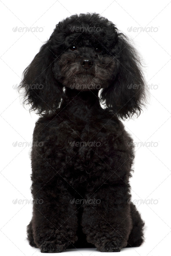 Poodle, 5 years old, sitting in front of white background - Stock Photo - Images