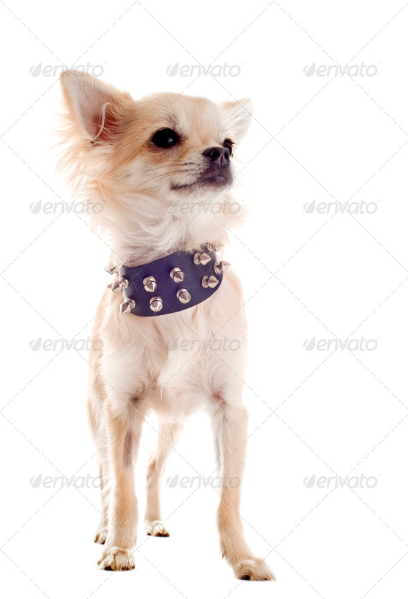 chihuahua with studded collar - Stock Photo - Images