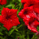 Beautiful red petunia flowers with dew droplets on it - PhotoDune Item for Sale