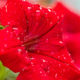 Beautiful red petunia flower with dew droplets on it - PhotoDune Item for Sale