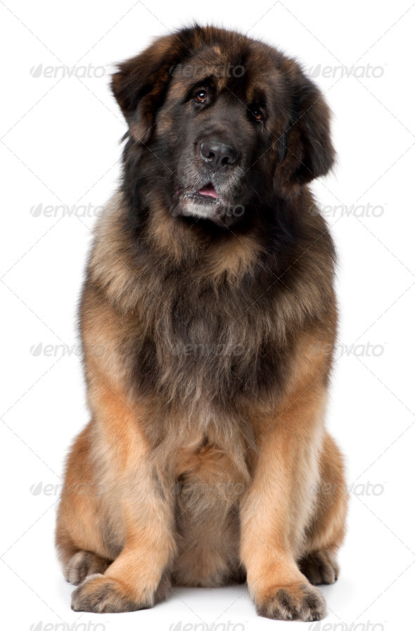 Leonberger, 5 years old, sitting in front of white background - Stock Photo - Images