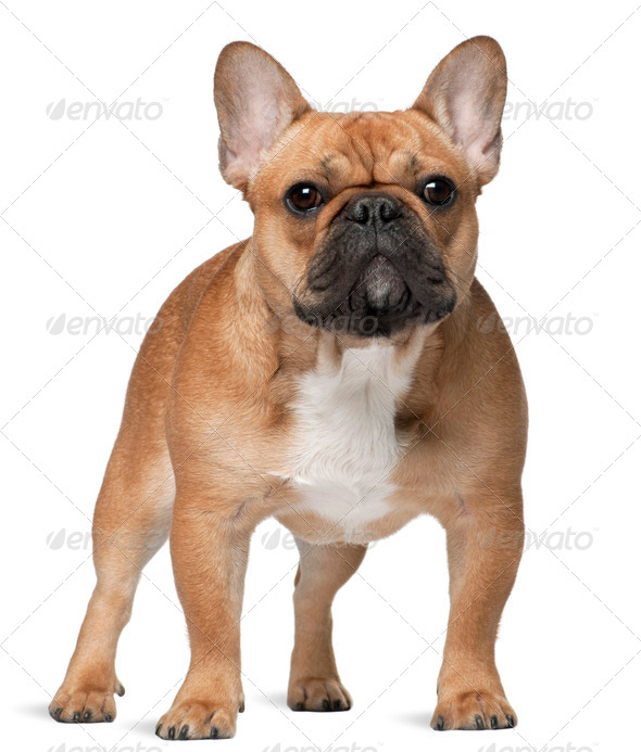 French bulldog, 9 months old, standing in front of white background - Stock Photo - Images