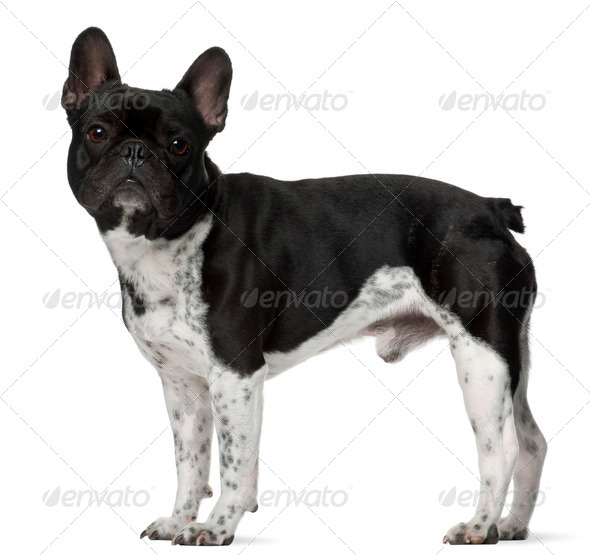 French bulldog, 5 years old, standing in front of white background - Stock Photo - Images