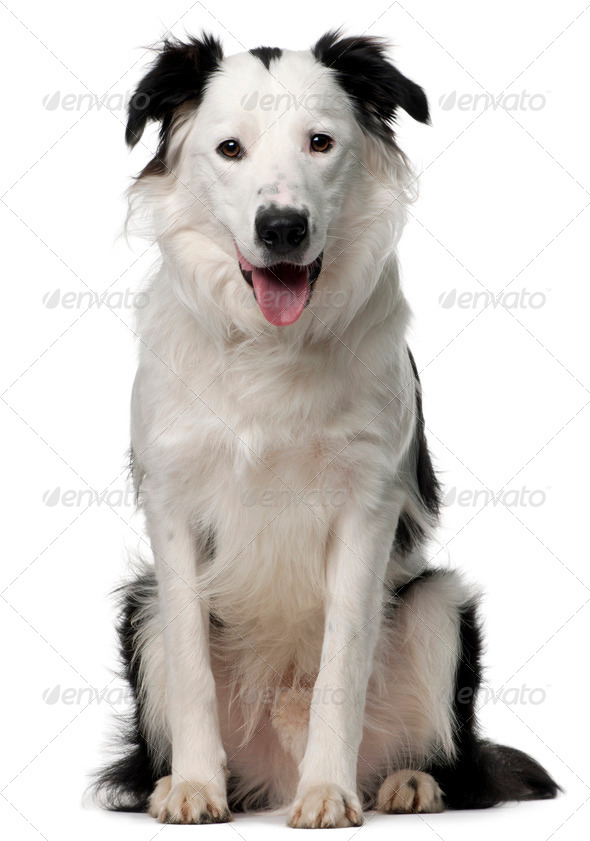 Border Collie, 10 months old, sitting in front of white background - Stock Photo - Images