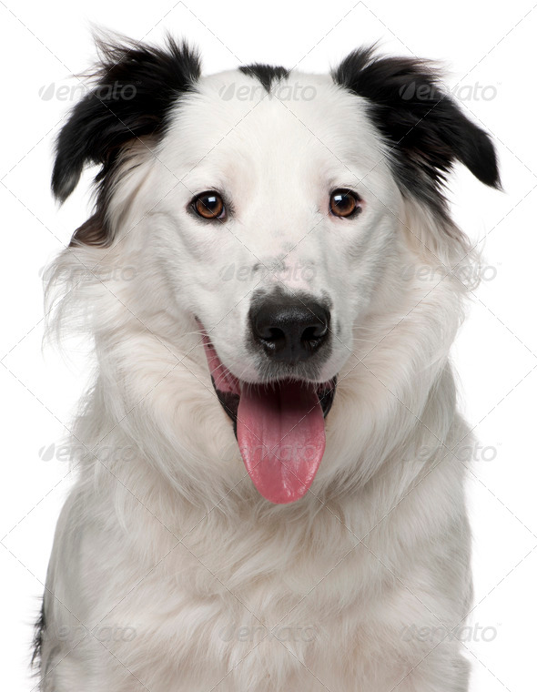 Close-up of Border Collie, 10 months old, in front of white background - Stock Photo - Images