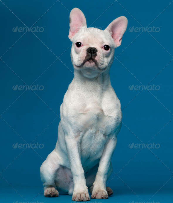 French bulldog puppy, 5 months old, sitting in front of blue background - Stock Photo - Images