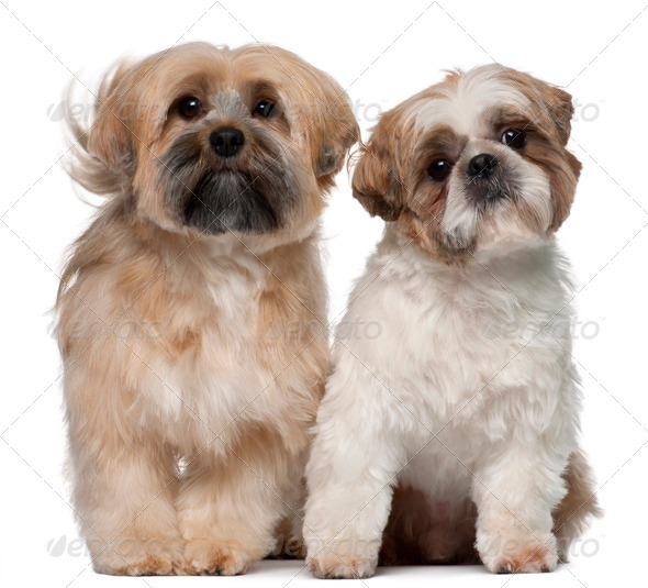 Two Shih Tzu's, 2 years old, sitting in front of white background - Stock Photo - Images