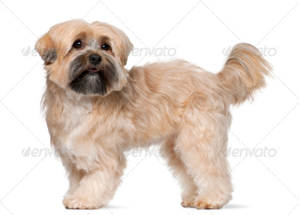 Shih Tzu, 2 years old, standing in front of white background - Stock Photo - Images