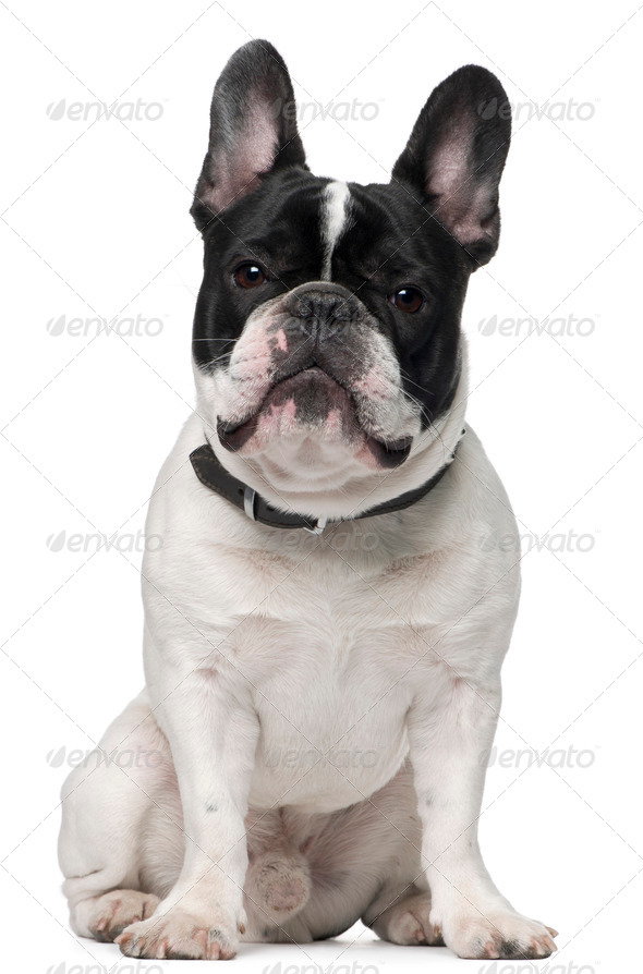 French bulldog, 15 months old, sitting in front of white background - Stock Photo - Images