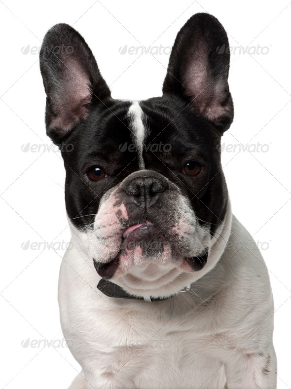 Close-up of French bulldog, 15 months old, in front of white background - Stock Photo - Images