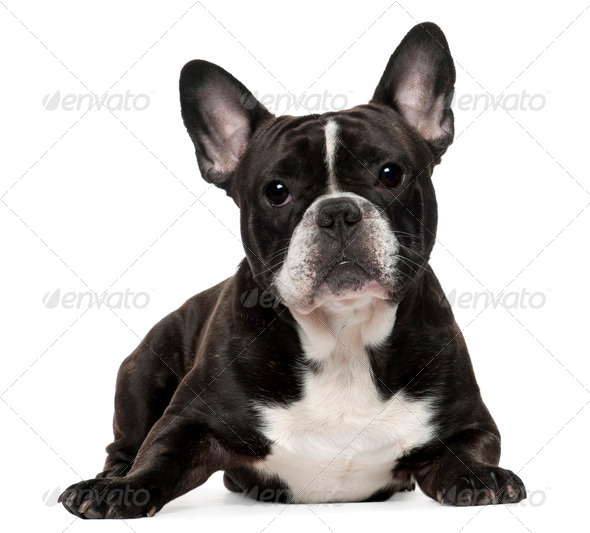 French Bulldog, 18 months old, lying in front of white background - Stock Photo - Images