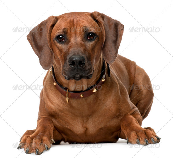 Rhodesian Ridgeback puppy, 7 months old, lying in front of white background - Stock Photo - Images