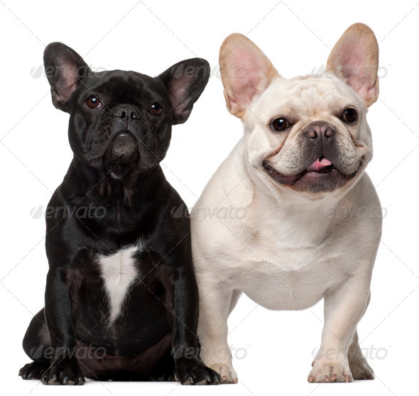 Two French Bulldogs, 18 months old, in front of white background - Stock Photo - Images