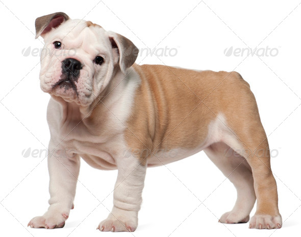 English bulldog puppy, 2 months old, standing in front of white background - Stock Photo - Images
