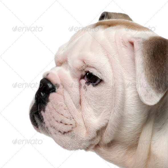Close-up of English bulldog puppy, 2 months old, in front of white background - Stock Photo - Images