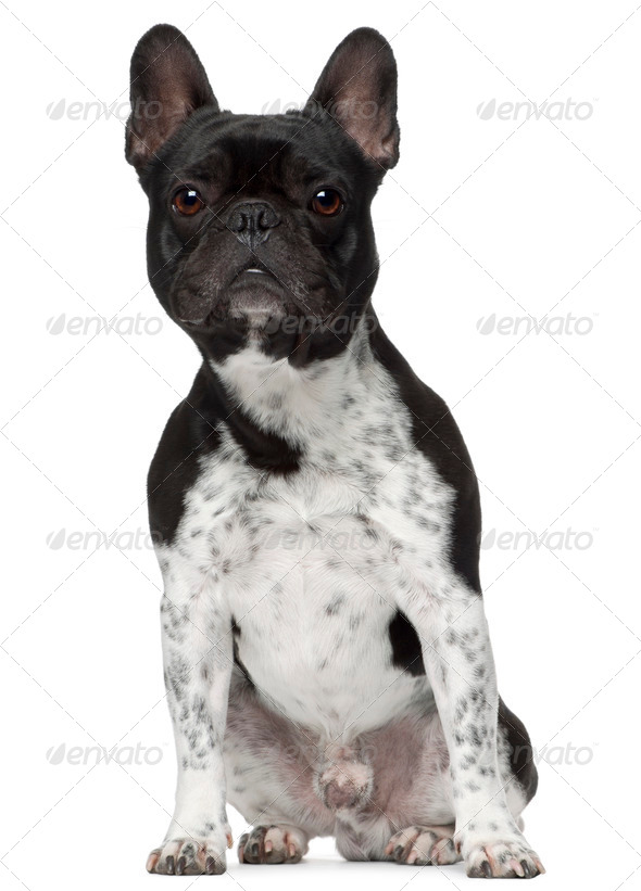 French bulldog, 5 years old, sitting in front of white background - Stock Photo - Images