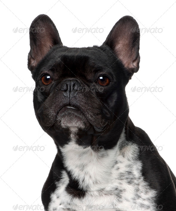 Close-up of French bulldog, 5 years old, in front of white background - Stock Photo - Images