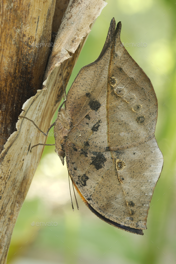 Dead-leaf or orange oakleaf butterfly, Kallima inachus - Stock Photo - Images