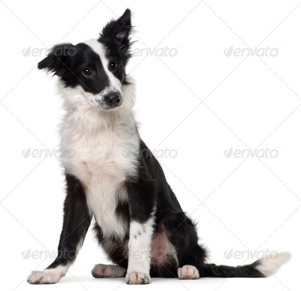 Border Collie, 4 months old, sitting in front of white background - Stock Photo - Images